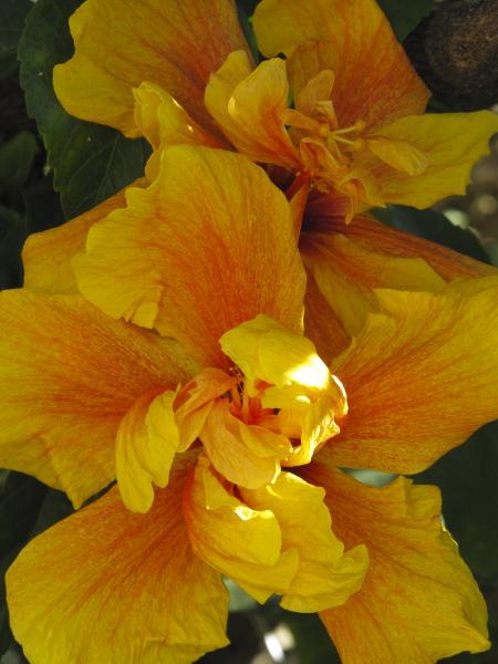 hibiscus a fleur double