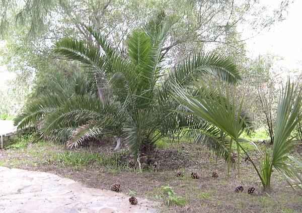 La palmeraie à l'origine