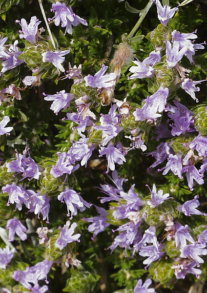 thymus capitatus fleurs