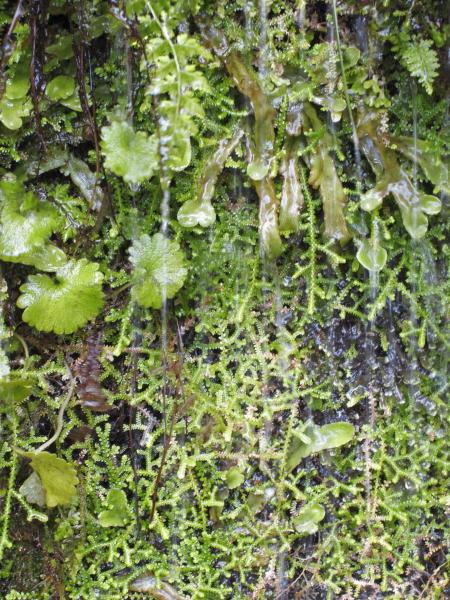 umbilicum selaginella conocephalum à confirme