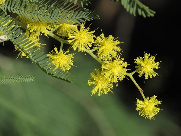 Acacia delbata