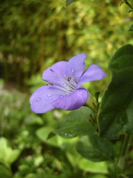Barleria obtusa