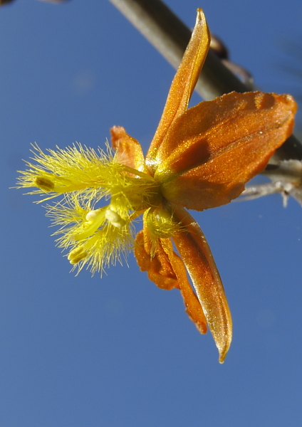 Bulbinella frutescens Hallmarck, détail