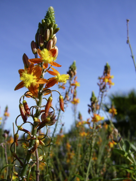Bulbinella frutescens Hallmarck