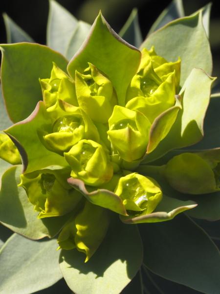 Euphorbia rigida fleur