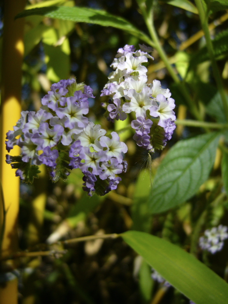 Heliotropium peruvianum