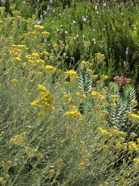 Helychrisum italicum