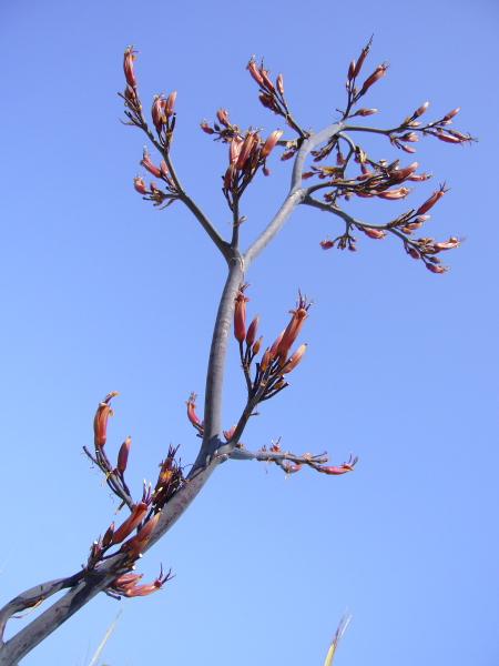 Phormium tenax, fleurs
