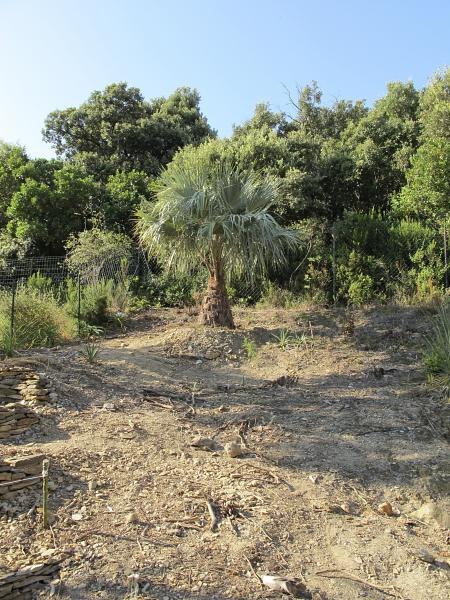 Plantation du Brahea