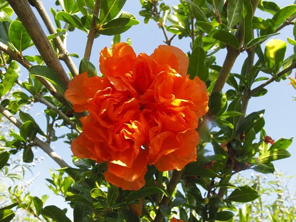 Punica granatum fleur
