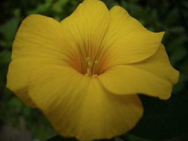 Renwardtia indica