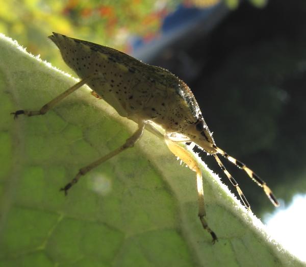 Rhaphigaster nebulosa