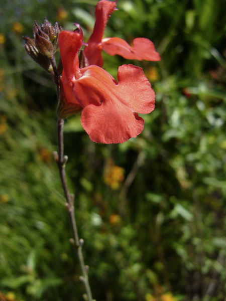 Salvia X devantville
