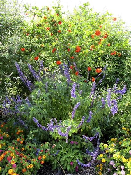 Salvia indigo spires et Punica granatum