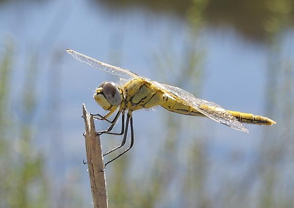 Insecte du midi : Sympetrum (striolatum ?)