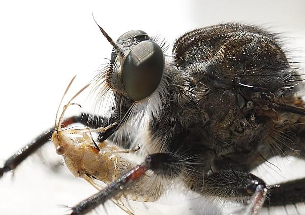 Tolmerus sp. atricapillus gros plan