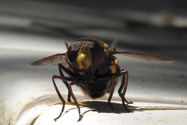 Volucella sp. (femelle)