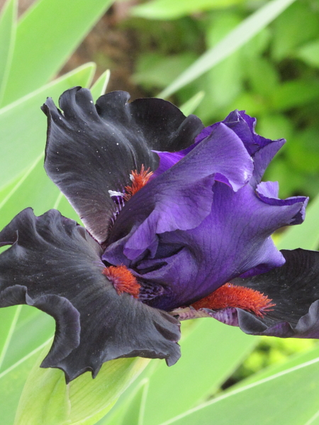 Iris germanica 'Wild wings - Hello darkness