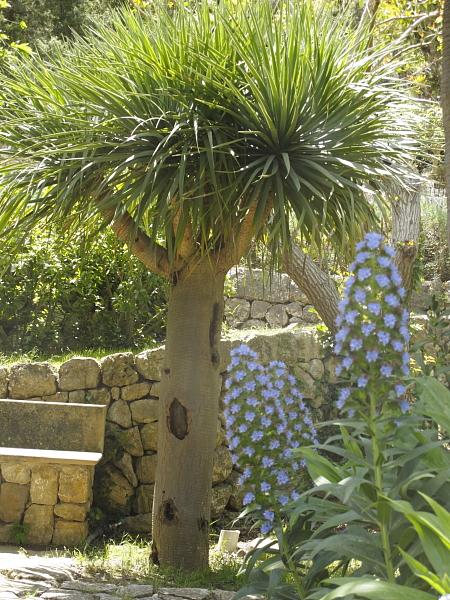 Dracaena draco et Echium sp.