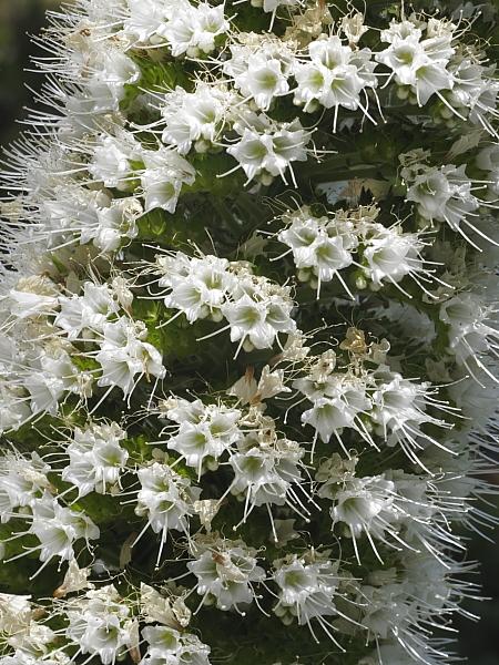 Echium simplex détail