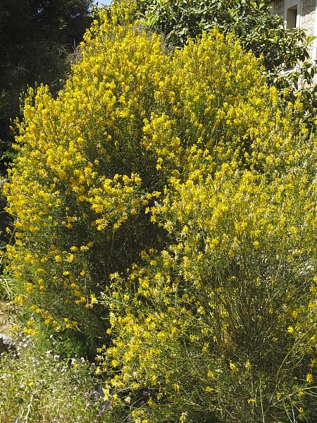 Genista dorychifolia