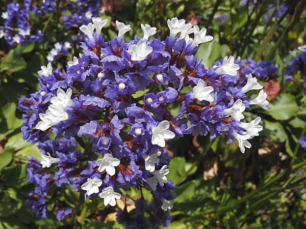 Limonium arborescens fleurs