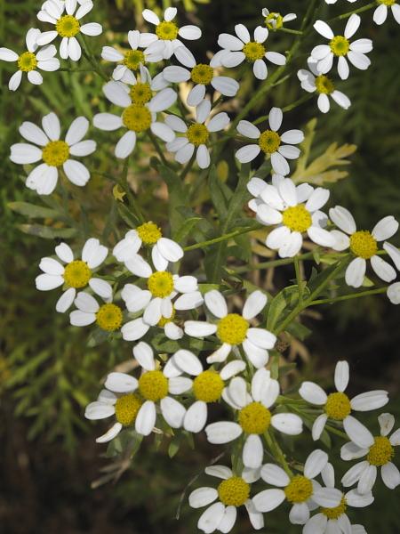 Tanacetum ferulaceum var cerulaceum