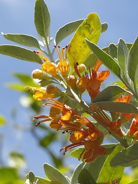 Teucrium heterophyllum détail