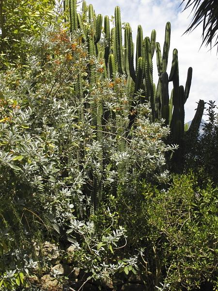 Teucrium heterophyllum et Euphorbia canariensis