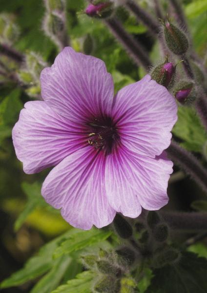 Geranium madarense fleur