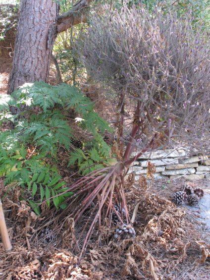 Geranium maderense rejet