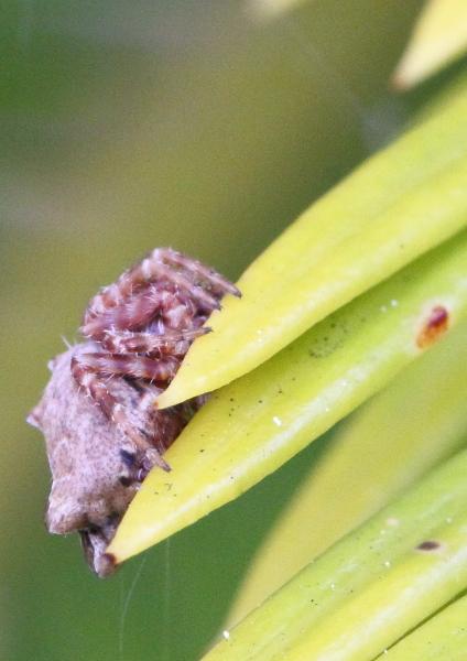 Pistius truncatus profil
