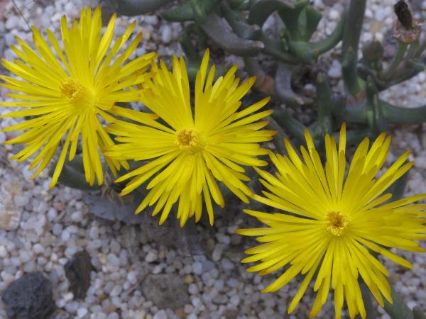 Rombophyllum dolabriforme