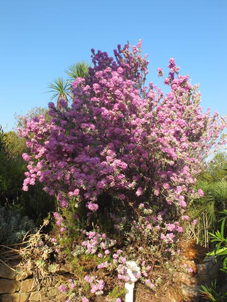 Leucophyllum frutescens arbuste