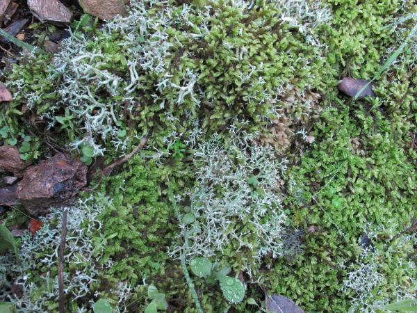Mousse et lichen