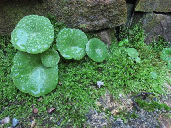 Umbilicus rupestris et mousse